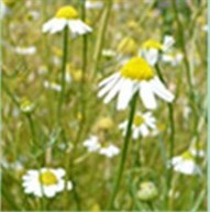 Chamomile Bloom Gin London Blog Brian Maule